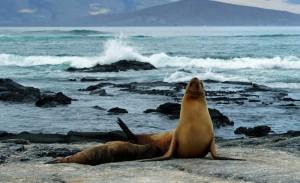 Leones marinos en la Isla Isabela en las Galápagos.